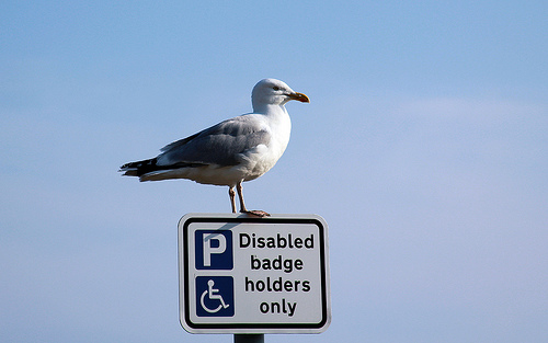 A sea gull sitting on a parking sign noting that only blue badge holders are allowed. It is implied, though not stated, that the bird does not have a blue badge, and therefore is violating the law.