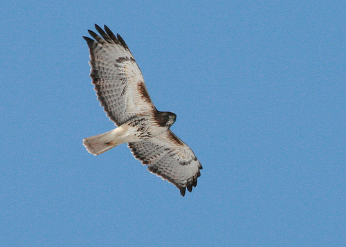 A red tailed hawk in flight.
