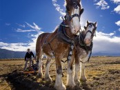 A pair of Clydesdale horses hitched to a plow.