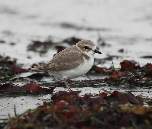 A small shorebird with a grey back and white front standing on a beach.