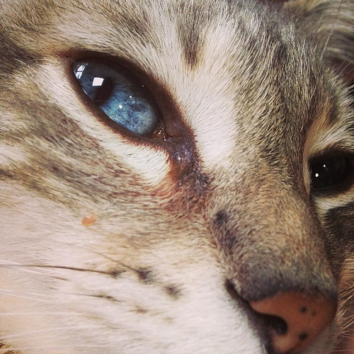 A closeup of Leila's face, showing her bright blue eyes and distintctive striped markings.