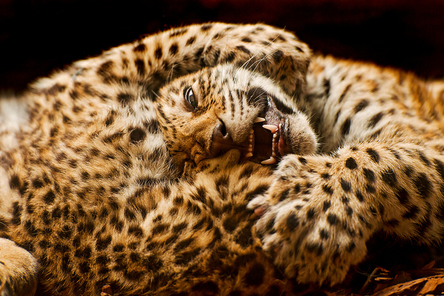 Two jaguar cubs, squabbling with each other.