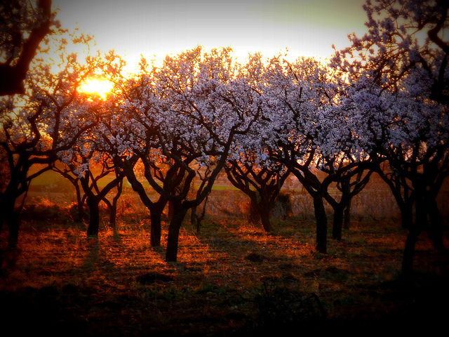 Almond trees in bloom, lit by a glowing orange sunset.