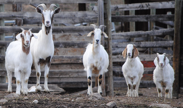 A row of goats staring curiously at the camera.