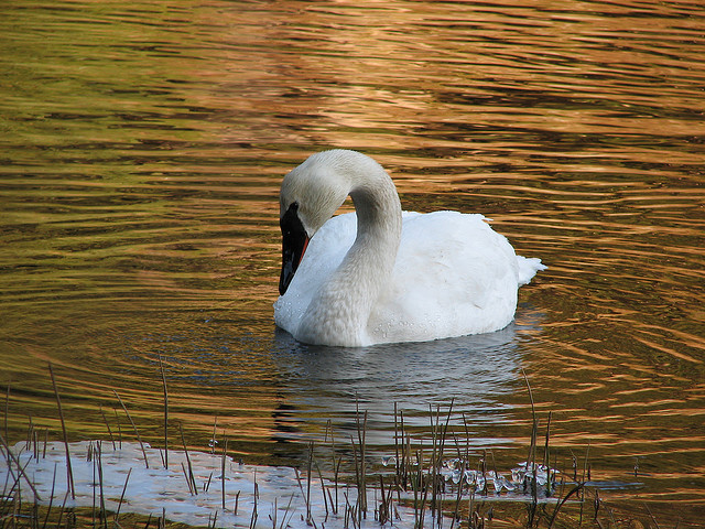 A lone trumpeter swan on a lake at dusk.