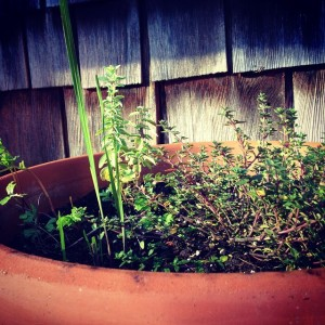 Thyme and oregano in a planter.