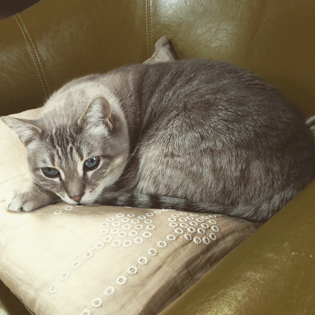 Leila the cat, curled up on a chair