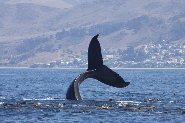 A humpback whale's tail waving at the camera