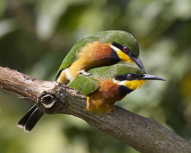 Two birds mating on a branch