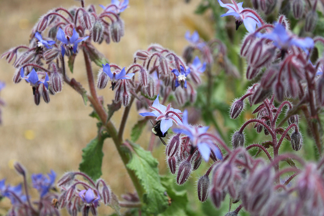 Bees buzzing borage plants