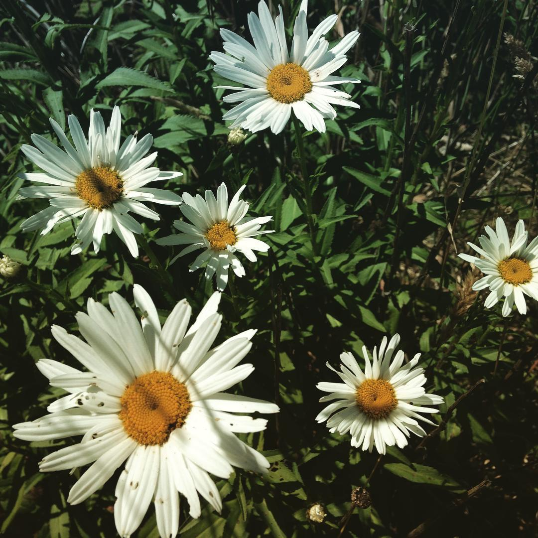 Daisies on a sunny day