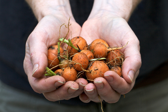 A person holding out a handful of round carrots.