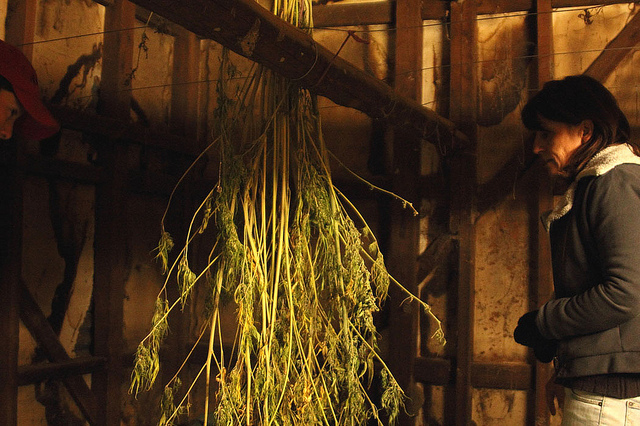 Hemp hanging in a drying shed after harvesting.