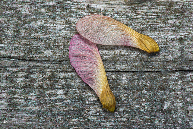 Two maple seeds on a weathered wood deck