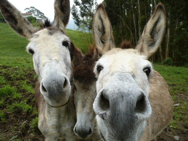 Two adult donkeys and a foal.