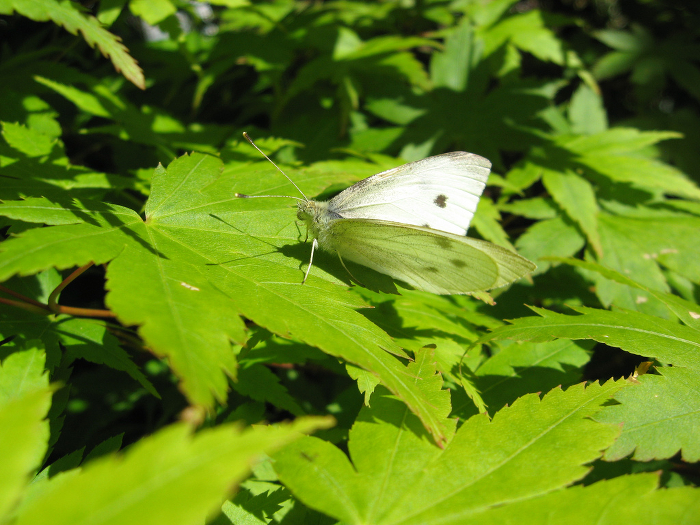 A cabbage moth sitting on bright green Japanese maple leaves.