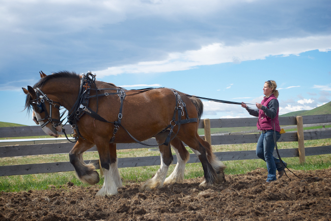 Two draft horses pulling a plough