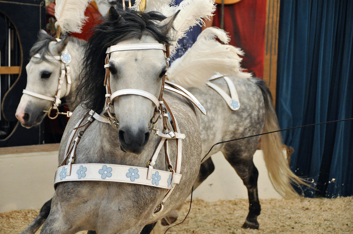 Dappled grey horses performing in a circus ring.