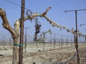 A field of grapes, withering on the vine, with an oil well amidst them.