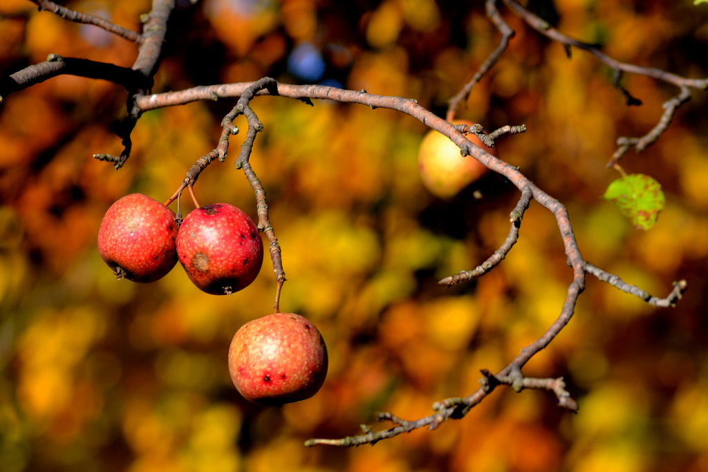 Apples on a branch.