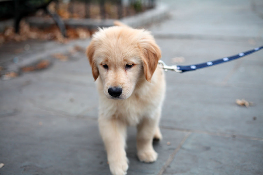 A puppy walking on a leash.