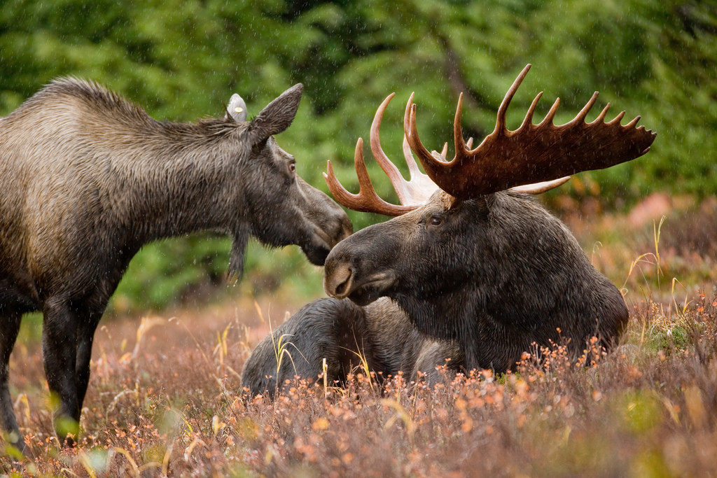 Two moose hanging out.