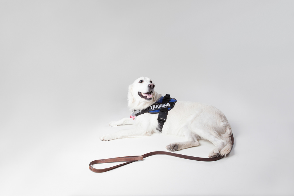 A service dog posing in a photo studio.