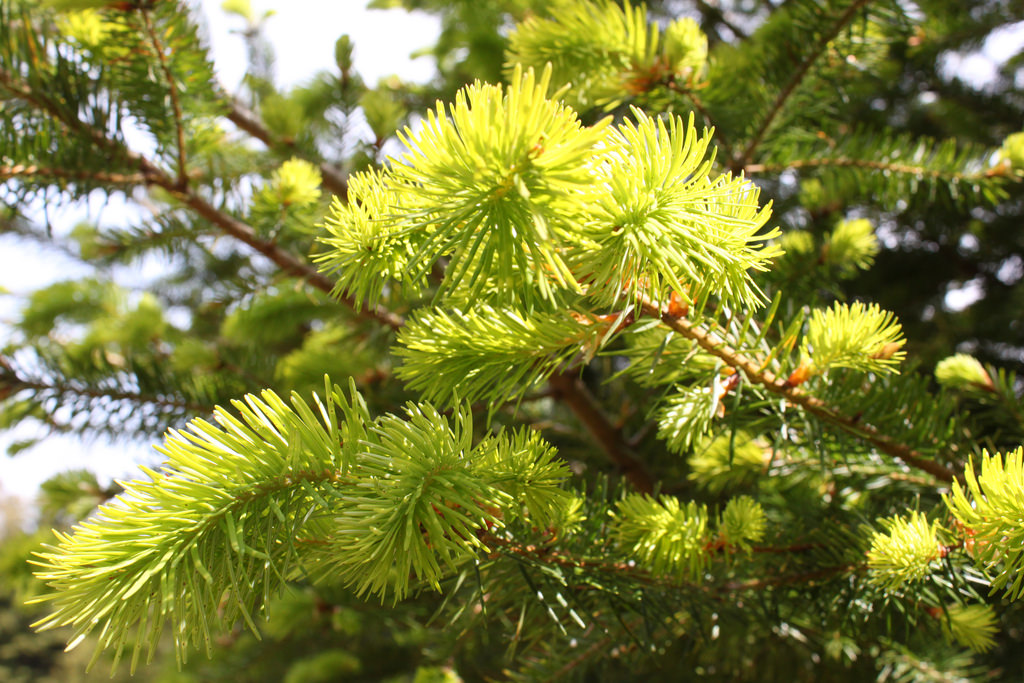 New growth on a fir tree
