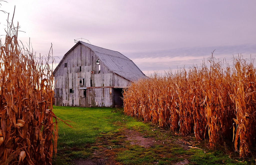 An abandoned barn in a corn field.