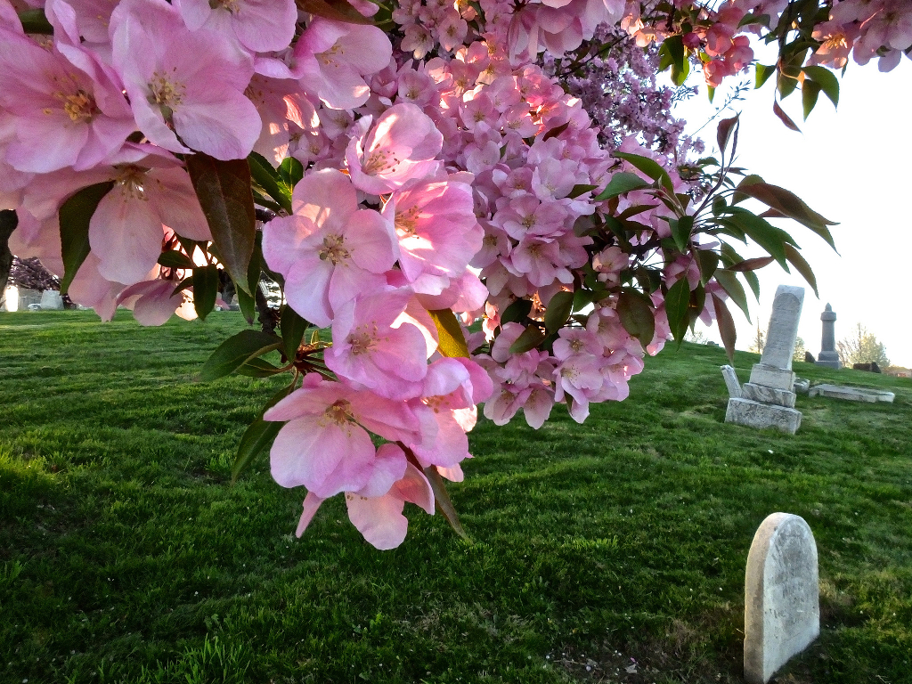 A blooming cherry tree in a cemetery.