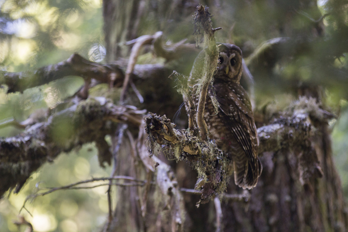 A female spotted owl in a tree.
