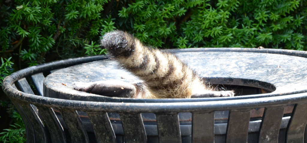 A raccoon diving into a trashcan.