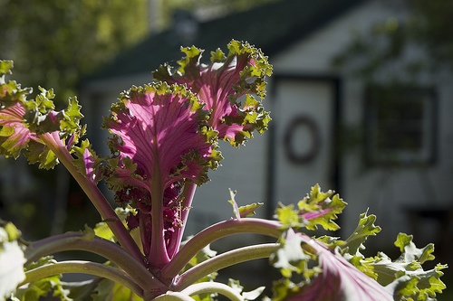 A kale plant in a sunny garden.