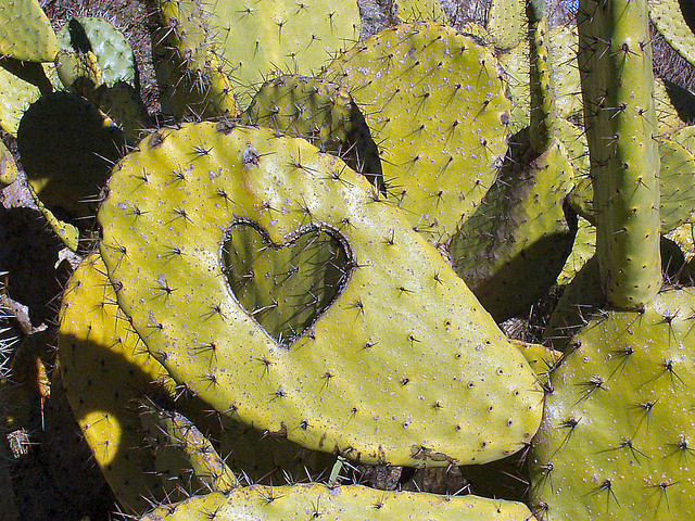 A cactus plant. Some witty person has carved a heart shape out of one of the fleshy leaves.