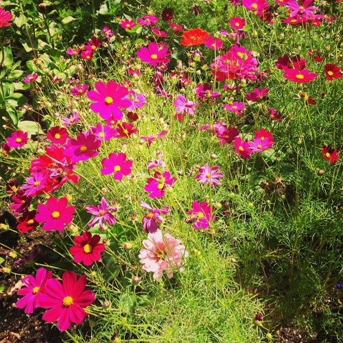 Cosmos blooming in summer.