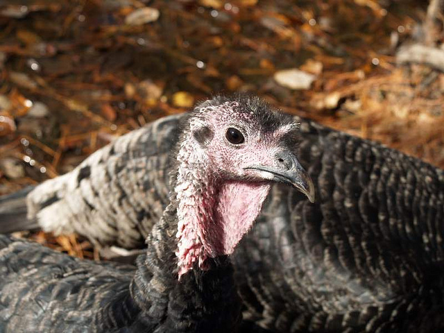 Two turkeys looking curiously at the camera.