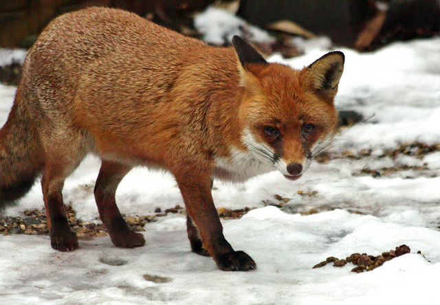 A fox, standing on snowy ground and eying the camera dubiously