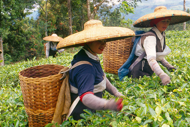 Two people working on a tea plantation