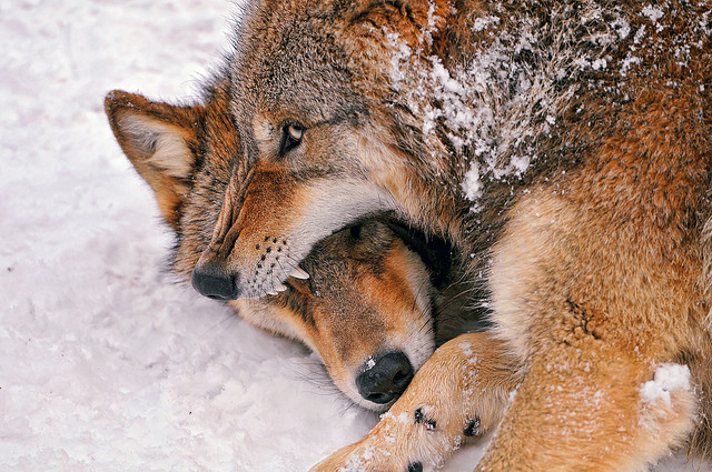 Two wolves playfighting in the snow