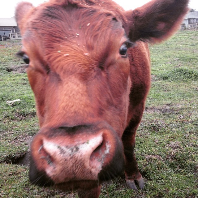 A brown steer nosing the camera lens