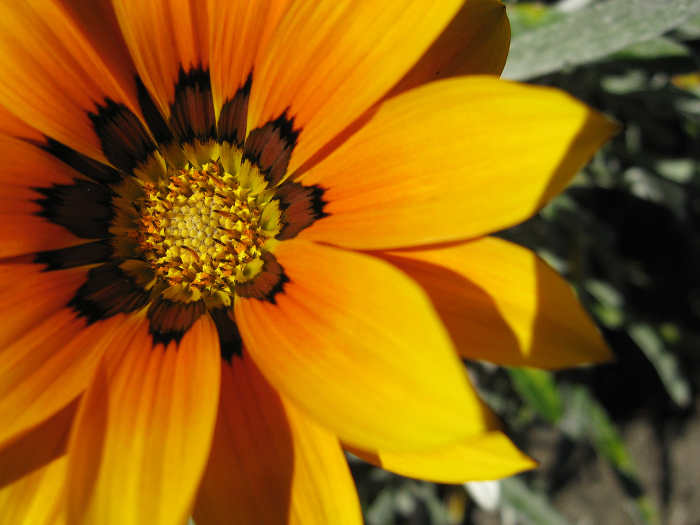 A bright orange African daisy