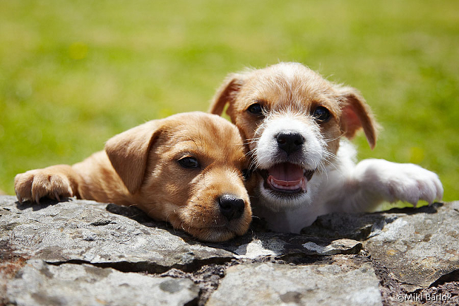 Two puppies resting their heads on a rock wall