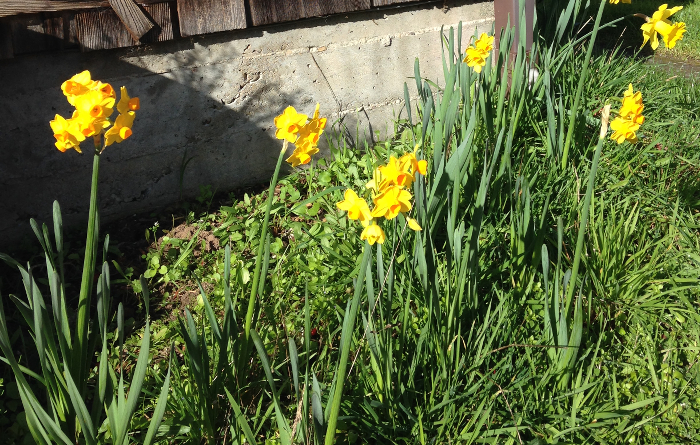 A row of daffodils in bloom.