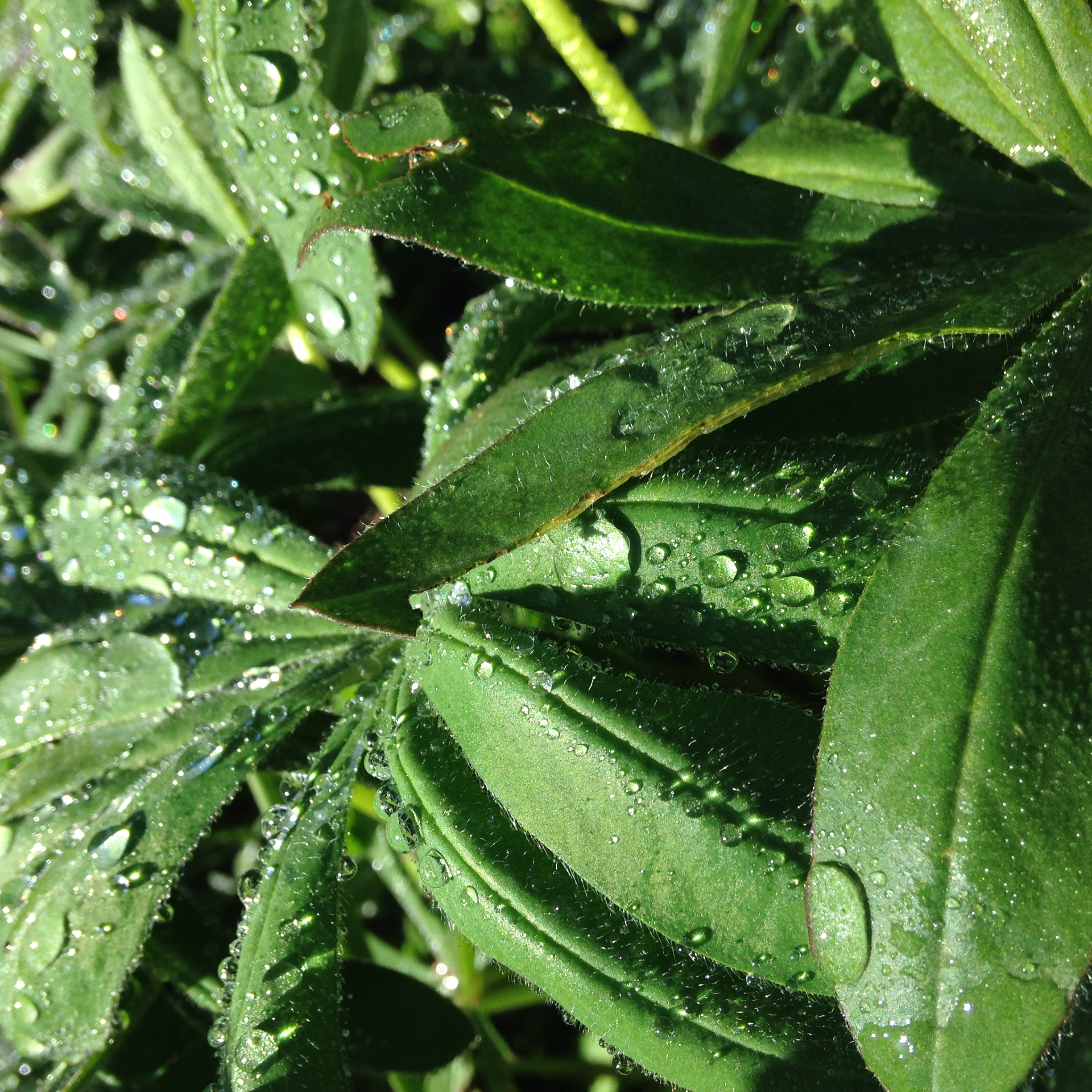 Droplets clinging to the leaves of a lupine.