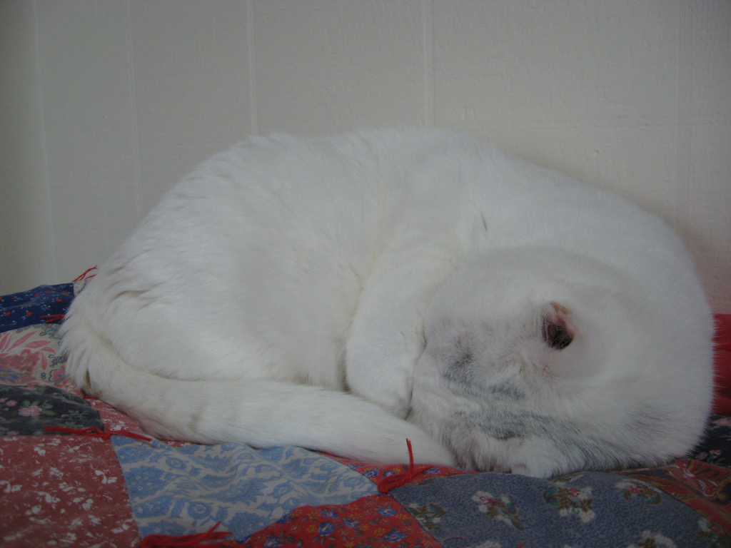 A mostly white cat curled up into a tight ball.