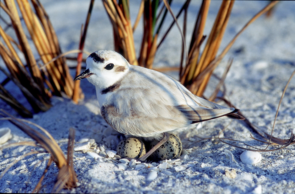 A snowy plover hanging out on a nest on the beach.