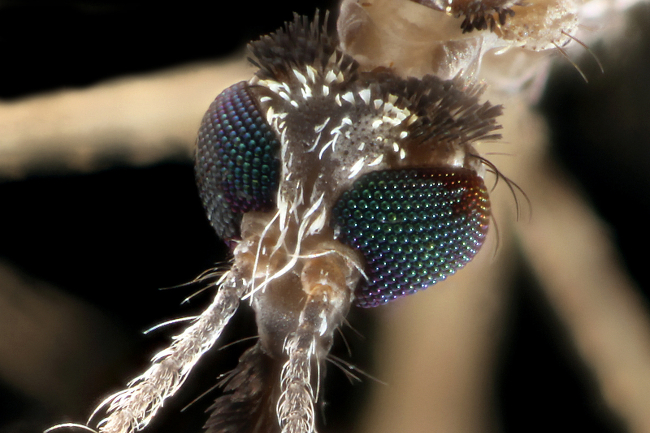 An Aedes mosquito in closeup.
