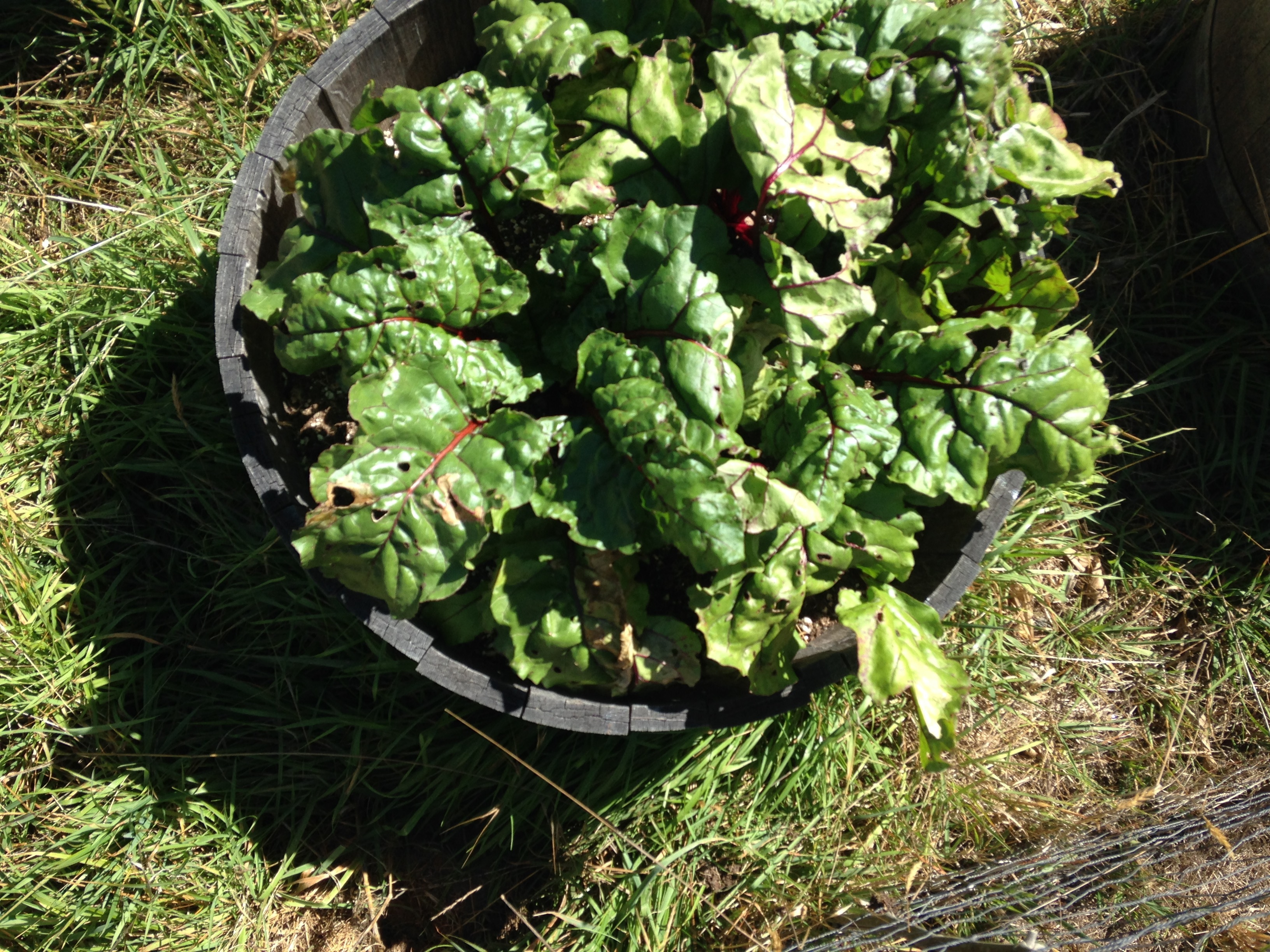 Beets growing in a large barrel.