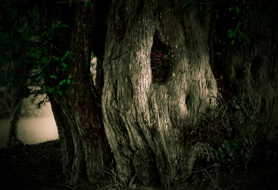 A yew tree thrown into dramatic shadows, looking very creepy.
