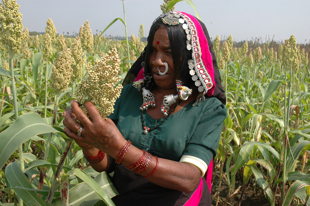 A dark-skinned woman in a saree and colourful jewelry, checking the health of a corn plant.